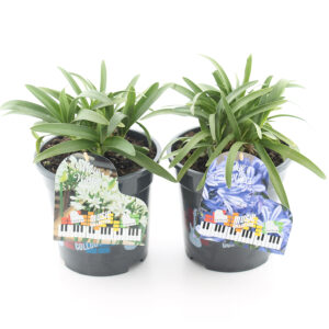 Agapanthus Music Collection