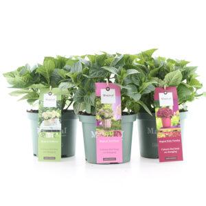 Hortensia macr. Magical Four Seasons in soorten