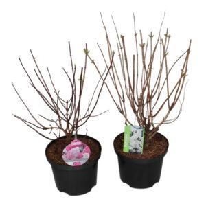 Hortensia paniculata in soorten