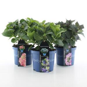 Hortensia macr Royalty Collection in soorten