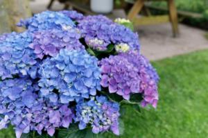 Hortensia macr. Music Collection Blue Ballad