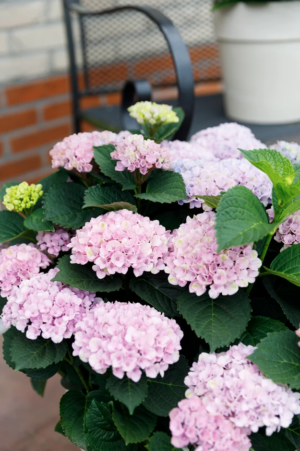 Hortensia macr. Music Collection Soft Pink Salsa