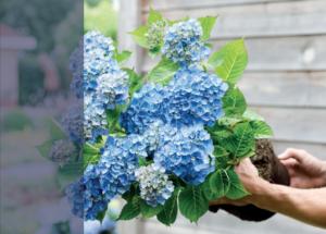 Hortensia macr. Magical Revolution Blauw