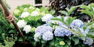 Hortensia macr. Magical Amethyst Blauw
