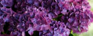 Hortensia macr. Music Collection Deep Purple Dance