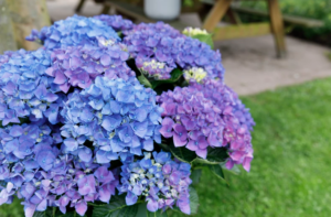Hortensia macr Forever & Ever Blauw