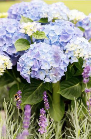 Hortensia teller Forever & Ever blauw