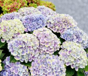 Hortensia macr Magical Amethyst Blauw
