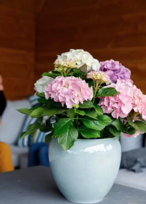 Hortensia macr. Endless Summer in soorten