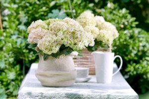 Hortensia macr. Magical Noblesse