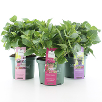 Hortensia Magical Four Seasons in soorten