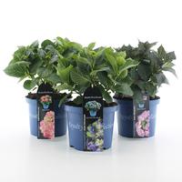 Hortensia macr. Royalty Collection in soorten
