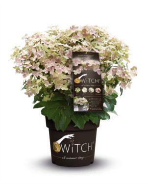 Hortensia macrophylla (S)'witch in soorten incl. pot